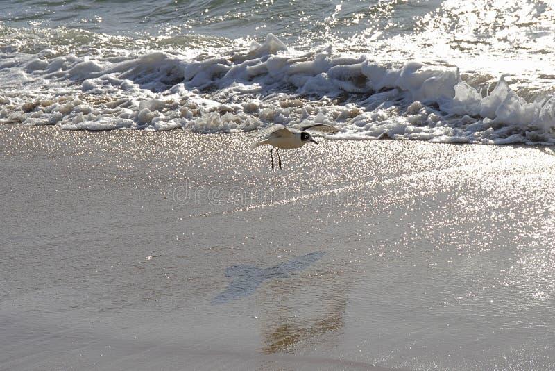 Download Pacyficzny Ocean Santiago De Chile Zdjęcie Stock - Obraz złożonej z pelikany, ranek: 106902112
