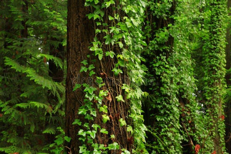 Pacyficzny północnego zachodu las i Douglas jedlinowi drzewa zdjęcia stock