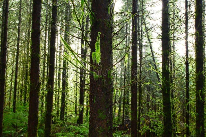Pacyficzny północnego zachodu las i Douglas jedlinowi drzewa zdjęcia royalty free