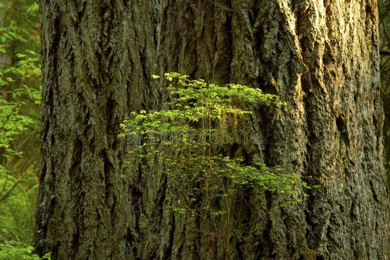 Pacyficzny północnego zachodu las i Douglas jedlinowi drzewa obrazy royalty free