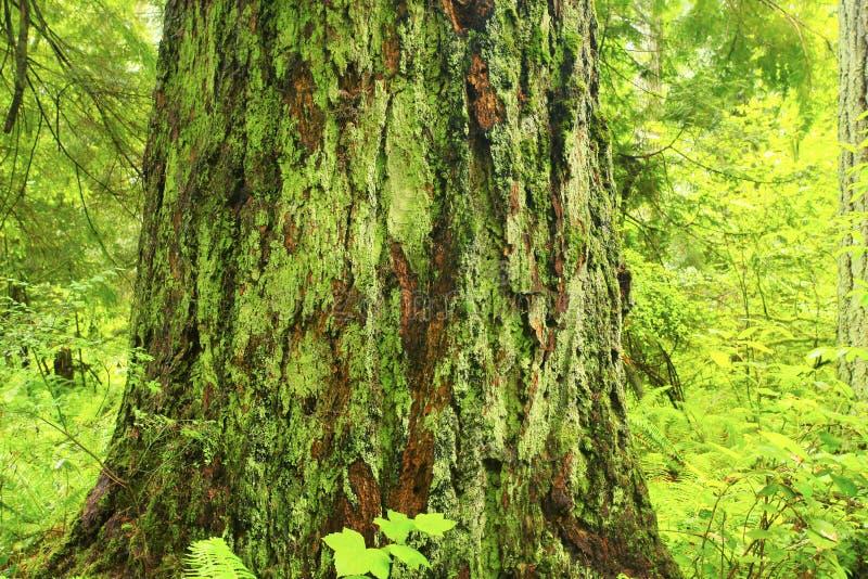 Pacyficzny północnego zachodu las i Douglas jedlinowi drzewa zdjęcie stock