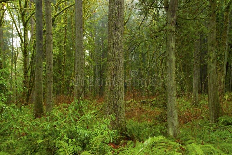 Pacyficzny północnego zachodu las i Douglas jedlinowy drzewo obrazy stock