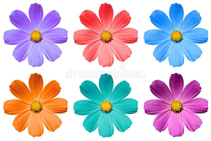 Paczka barwioni Primulf kwiaty odizolowywający zdjęcie royalty free