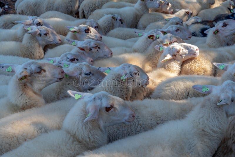 Paczka cakla zakończenie wpólnie jest ołowiany sheepherder zdjęcie stock