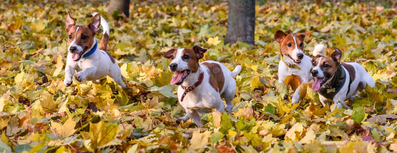 Paczka Jack Russell teriery biega przy spadkiem & x28; autumn& x29; park zdjęcia royalty free