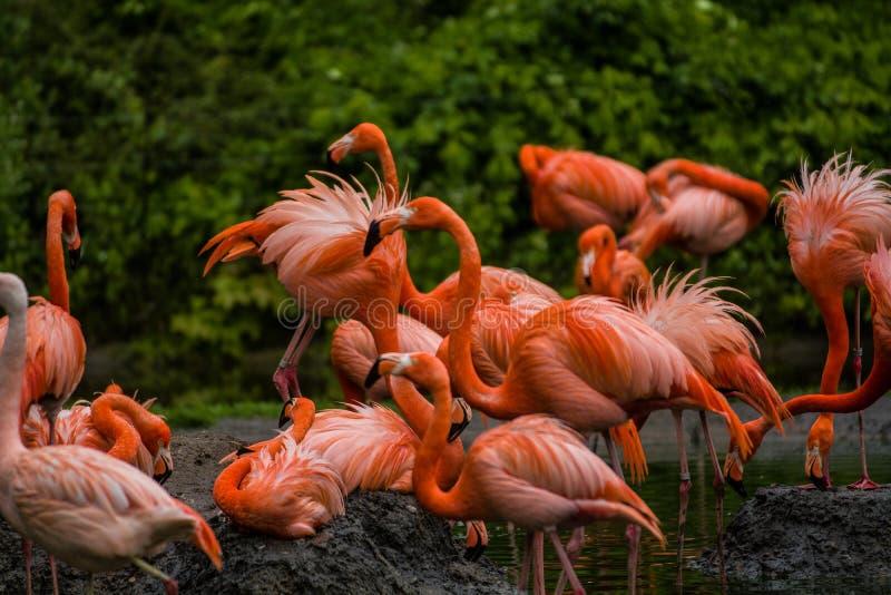 Paczka jaskrawi ptaki w zielonej ??ce blisko jeziora Egzotyczni flamingi nasycaj?cy menchii i pomara?cze kolory z puszystymi pi?r zdjęcie stock