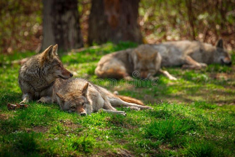 Paczka kojoty Śpi i Odpoczywa w lesie zdjęcia royalty free