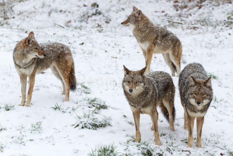 Paczka kojoty w zimy scenie zdjęcie stock