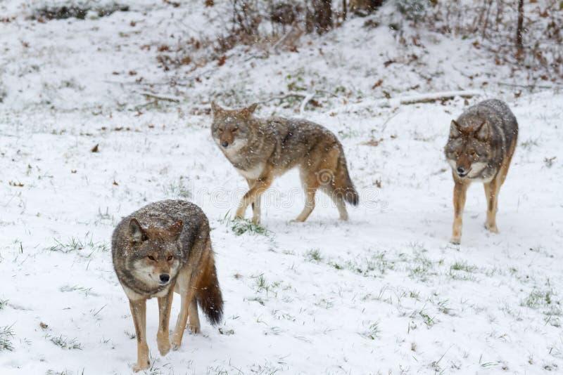 Paczka kojoty w zimy scenie obrazy royalty free