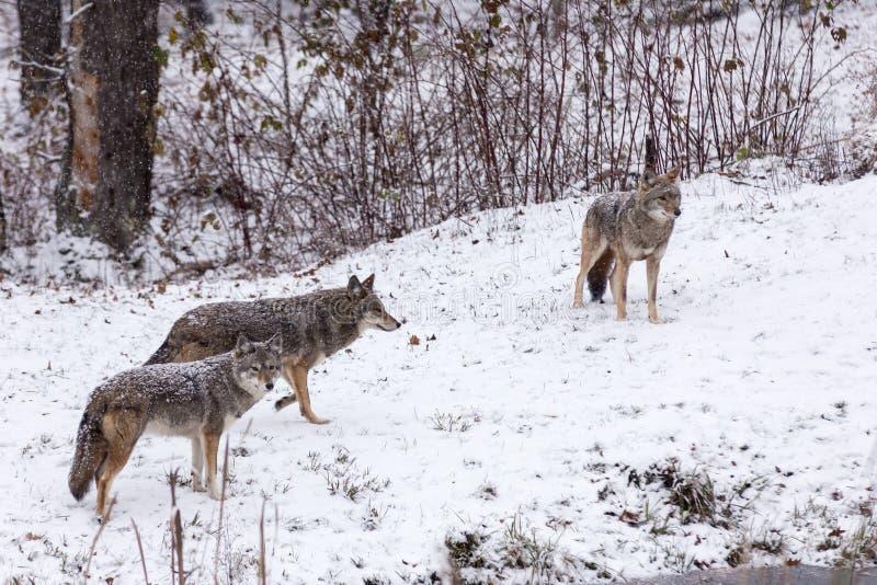 Paczka kojoty w zimy scenie obrazy stock