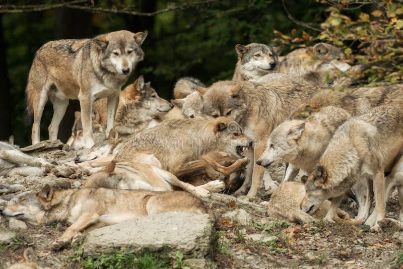 Paczka wilki zdjęcie stock