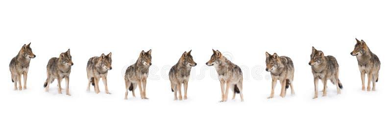 Paczka wilki obrazy royalty free