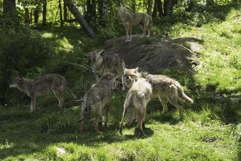 Paczka wyć kojoty zdjęcia stock