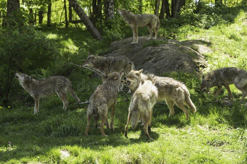 Paczka wyć kojoty fotografia stock