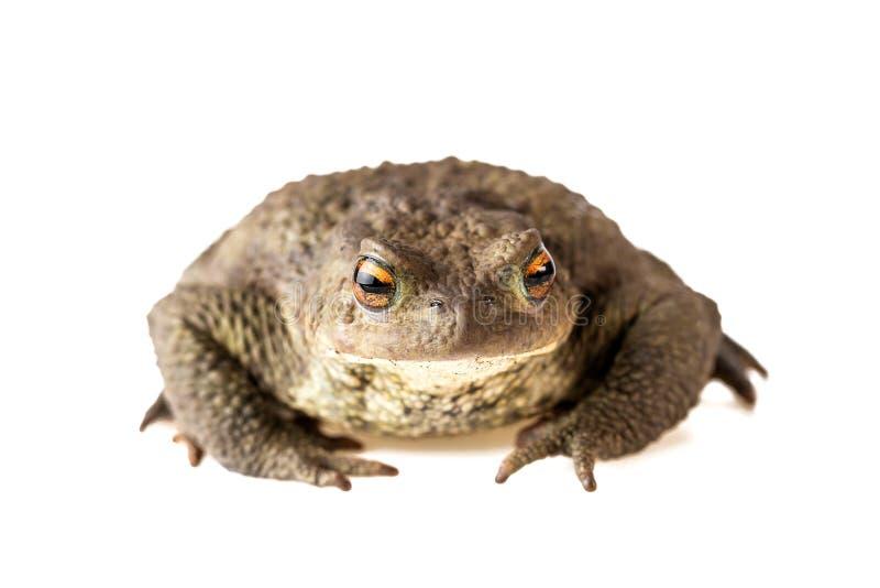 Pad Front View Common Toad of Bufo Bufo op Wit wordt geïsoleerd dat royalty-vrije stock foto's