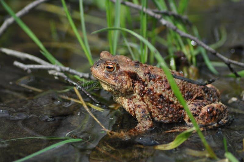 Pad, kikker in het water amfibie stock afbeeldingen