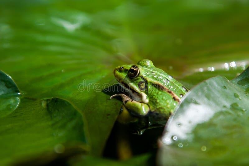 Padda på ett grönt blad fotografering för bildbyråer