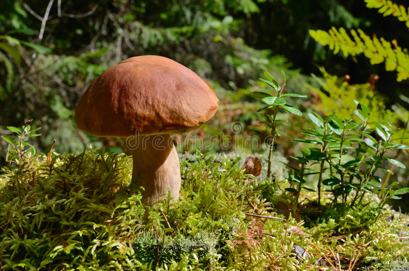 Paddestoel in bos stock afbeelding