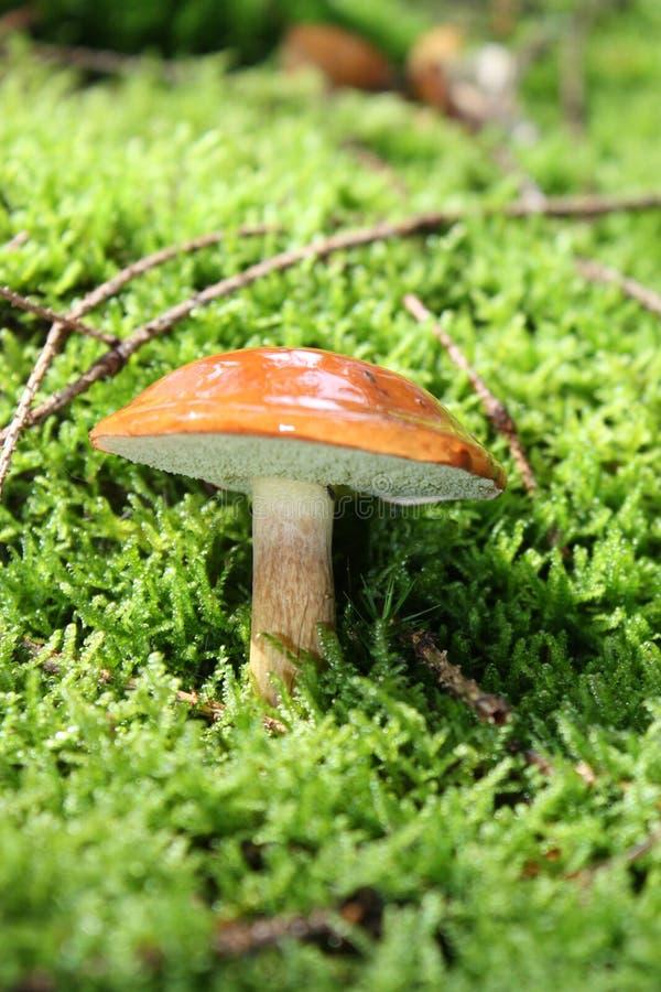 Paddestoel in bos stock afbeeldingen