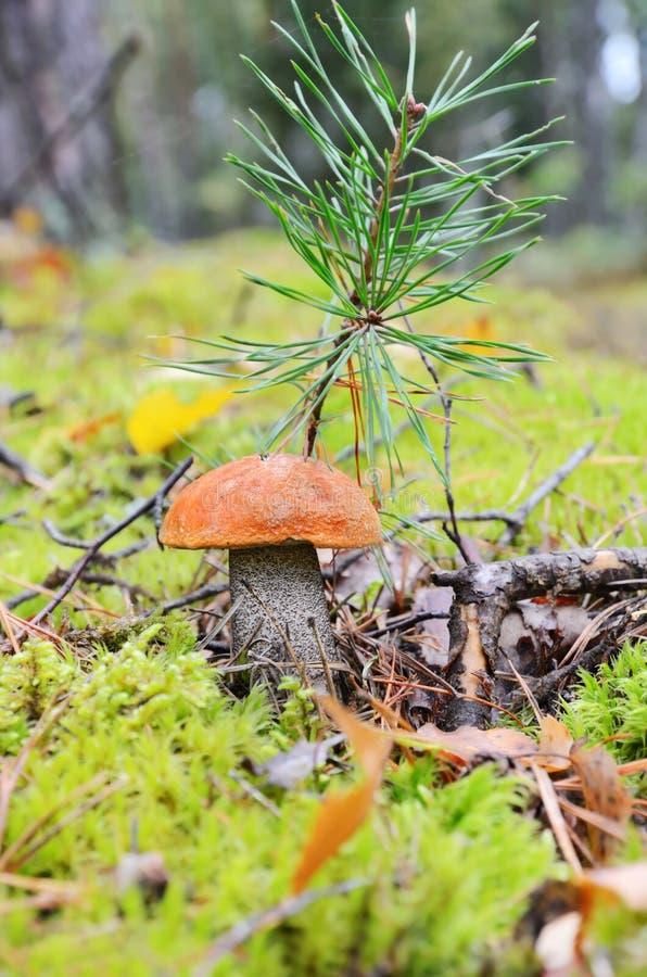 Paddestoel in de herfstbos stock afbeelding