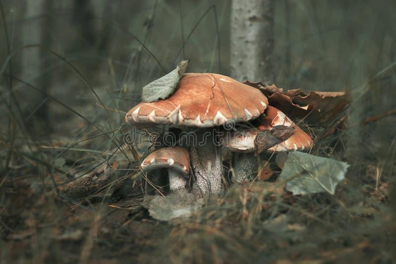 Paddestoel drie op mos in de bosscène van de Herfst bospaddestoelen stock fotografie