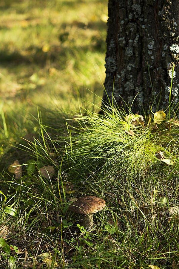 Paddestoel in het bos royalty-vrije stock foto