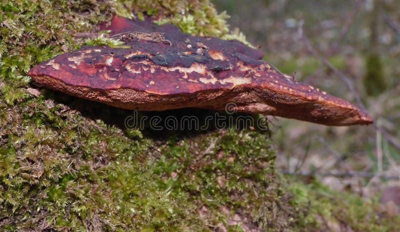 Paddestoel op Boom met mos royalty-vrije stock afbeeldingen