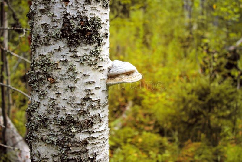 paddestoel op de boom Licht ontvlambare stof - in Europa, een paddestoel-licht ontvlambare stof wijd wordt uitgespreid die stock afbeeldingen