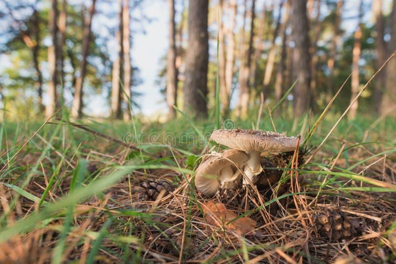 Paddestoel op een achtergrond van gras en het lange bos van de bomenpijnboom royalty-vrije stock fotografie