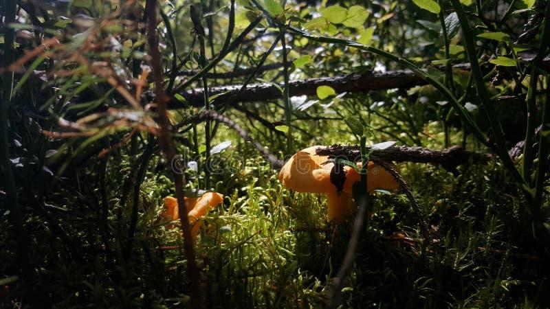 Paddestoelen in bos stock afbeeldingen