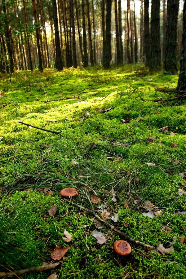 Paddestoelen in groen bos stock afbeeldingen