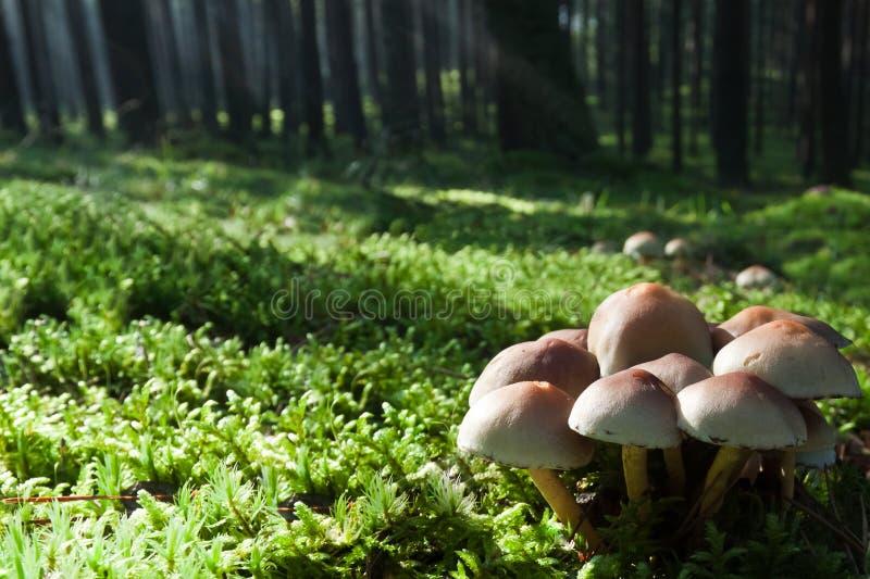 Paddestoelen op groene weide in nevelig bos stock afbeeldingen