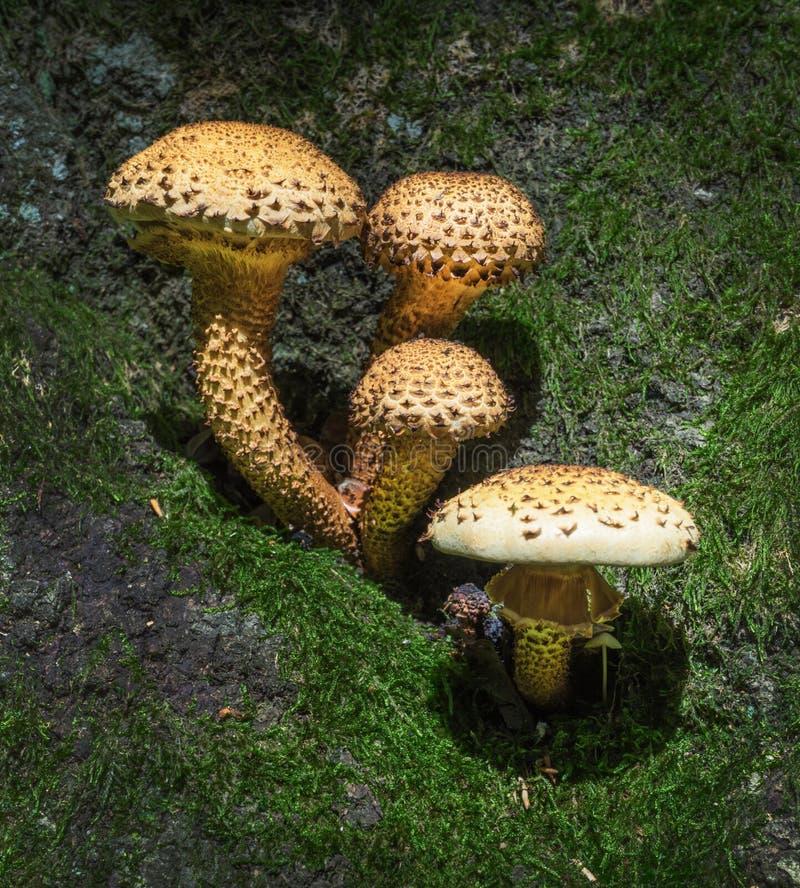 Paddestoelen - Ruwharige scalycap - Pholiota-squarrosa stock fotografie