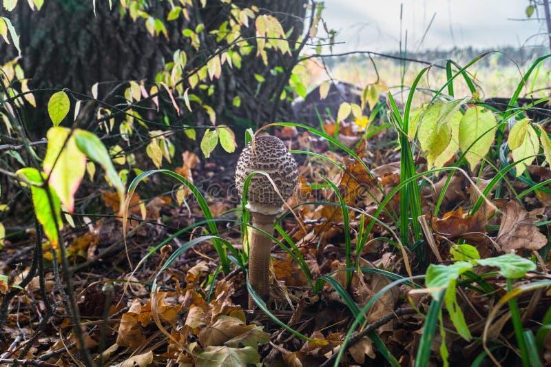 Paddestoelparaplu in dik gras op de rand van een oud eiken bosje stock afbeelding