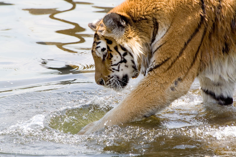 Paddle tiger. Shy beast power royalty free stock photography