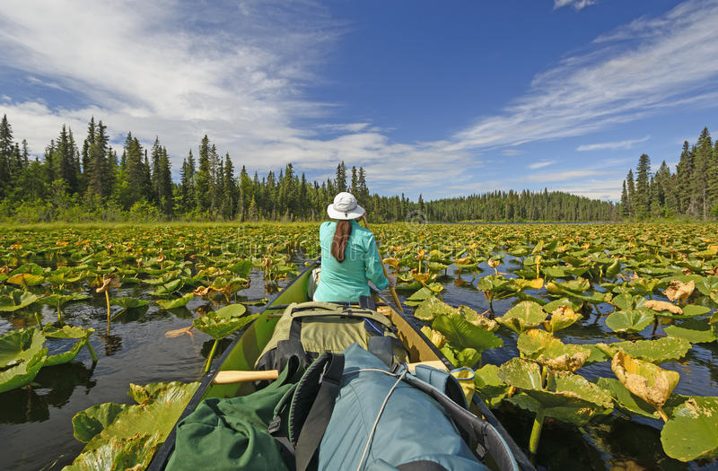 Paddling Through Lily pads in the Wilderness. Paddling Through Lily pads of Canoe Lake in the Swanson River Wilderness of the Kenai Wildlife Refuge in Alaska stock photo