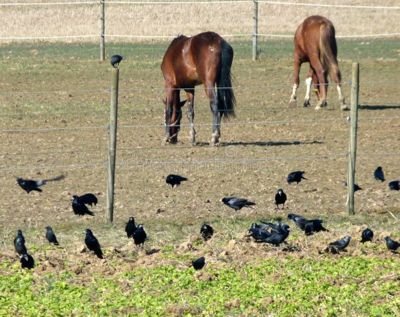 Paddock с 2 коричневыми пася лошадями и воронами стоковые изображения