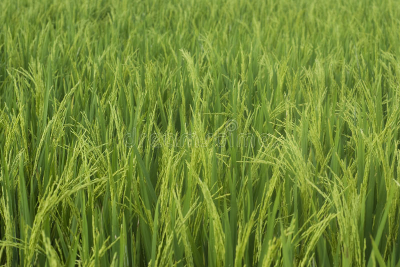 Paddy. Mature paddy ready to be harvested stock photos