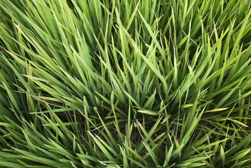 Paddy. Grass in green. Picture taken at Sekinchan, Malaysia royalty free stock image
