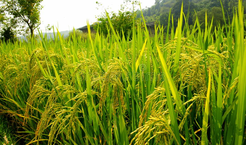 Paddy. South of china,Staple food grain royalty free stock image