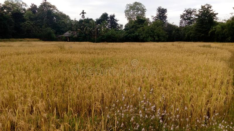 BEAUTIFULL VIEW INDIAN RICE FIELD stock photo
