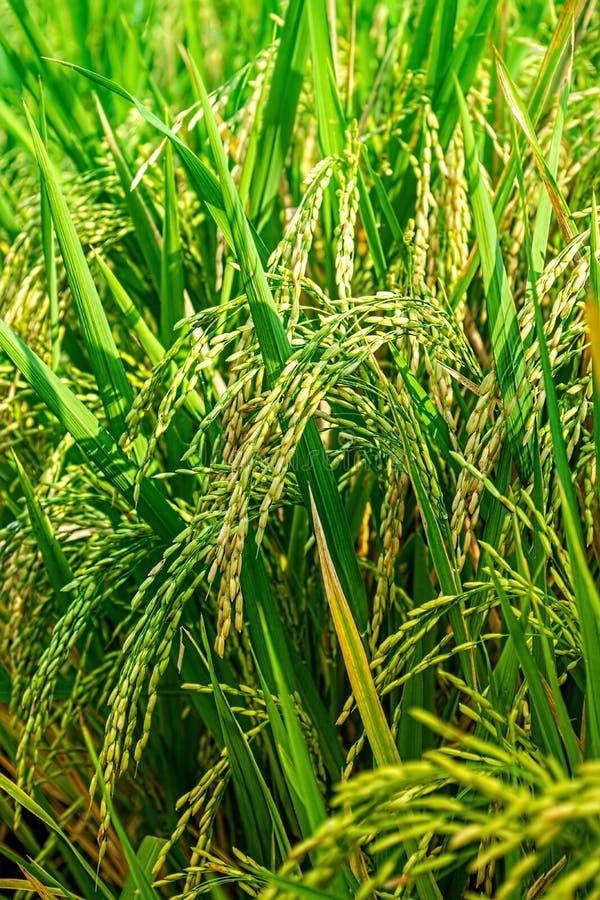 Paddy As Its Reach Maturity mûr Grain de riz prêt pour la saison abondante de récolte à l'été image stock