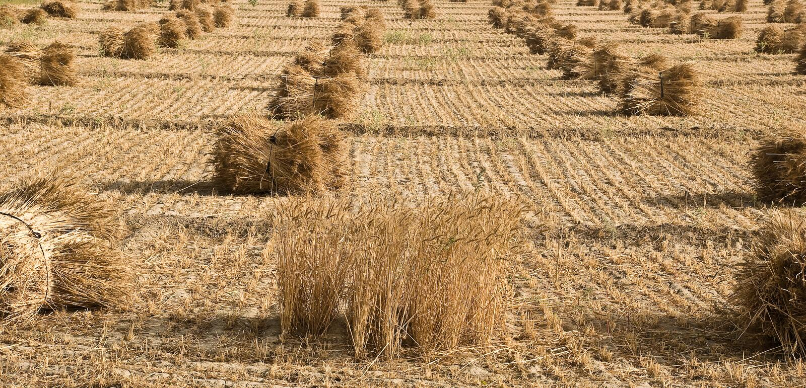 Download Paddy Crop at final stage stock image. Image of managed - 13960117