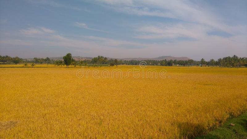 Paddy Crop Harvesting royalty-vrije stock foto
