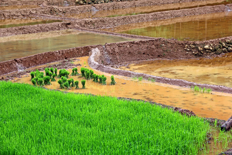 Paddy Cultivation Process royalty-vrije stock fotografie