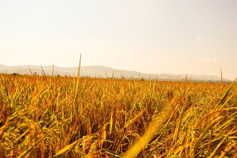 Paddy d'or aux terres cultivables photographie stock libre de droits