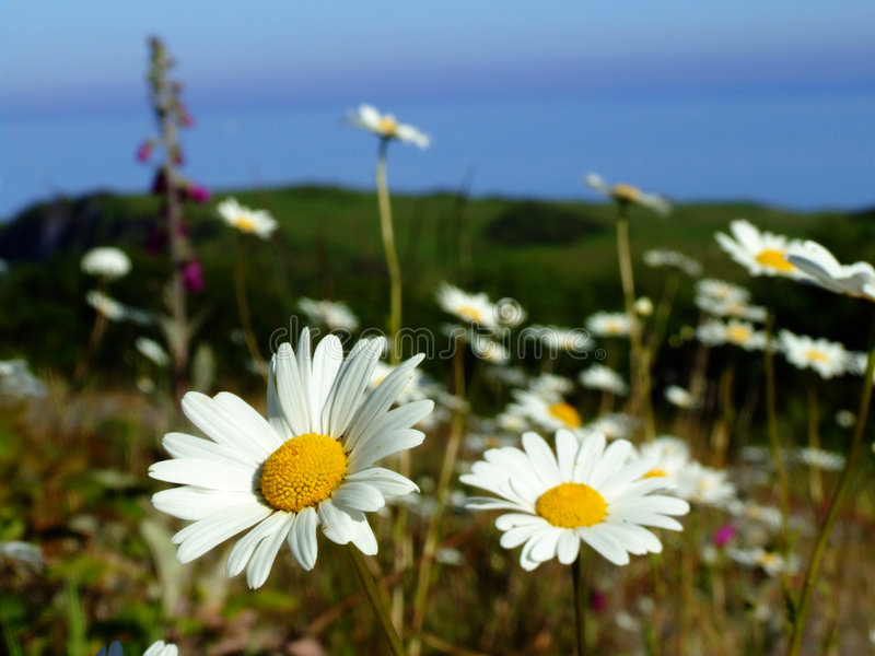 paddy daisy obraz royalty free