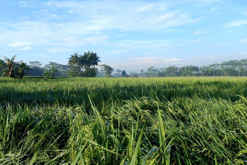 Paddy in der Landschaft mit Hintergrund des blauen Himmels stockfotos