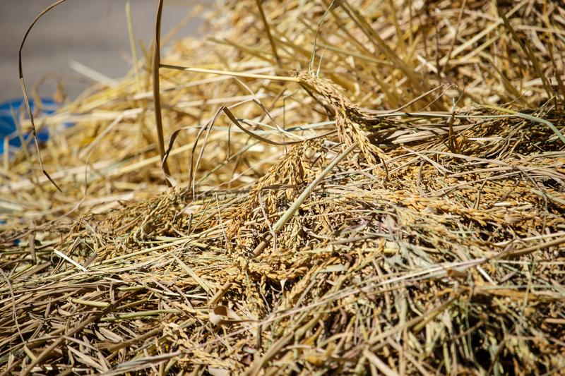 Paddy and dry straw pile on sunny day stock photos