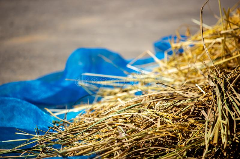 Paddy and dry straw pile on sunny day royalty free stock photo